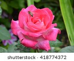 Flower Rose Pink With Bee