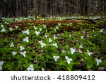 Moss Covered Log And Wild Whit...