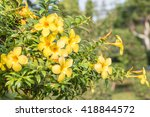 Small photo of Close up of yellow flower, Golden Trumpet, Allamanda cathartica, on green leaves blurred background, macro.