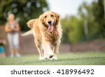 Golden Retriever Dog Walking...