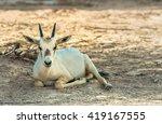 Baby Of Antelope  The Arabian...