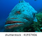 Giant Potato Cod  Epinephelus...