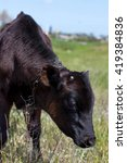 Small photo of Calf in a field. calf in a meadow. young cow