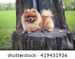Pomeranian Dog On A Walk. Dog...