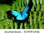 Ulysses Swallowtail  Papilio...