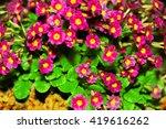 Primula Julia Polyanthus....