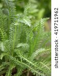 Small photo of Yarrow, Achillea millefolium green leaves