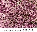saxifraga arendsii hybrids | Shutterstock . vector #419971312