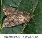 cabbage moth moth  mamestra... | Shutterstock . vector #419987842