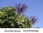Small photo of Purple flower spikes of a decorative Queensland Umbrella tree Schefflera actinophylla, octopus tree or amate in the Araliaceae family adds color and interest to the garden scape in late autumn.