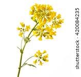 flowering barbarea vulgaris or... | Shutterstock . vector #420084235