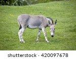 Equus africanus somaliensis  ...
