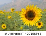 Постер, плакат: Sunflowers on sunflowers field