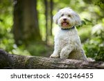 White Havanese Dog Standing On...