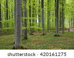 scenic view of a beech wood in... | Shutterstock . vector #420161275