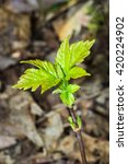 Small photo of Young buds of the maple ash growing in the Kurumoch woods. (Acer negundo)
