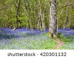 Bluebells In The Woods  East...