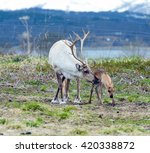 reindeer female and calf ... | Shutterstock . vector #420338872