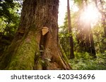 Large Fungus Growing On The...