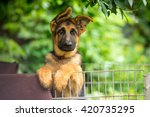 Stock photo german shepherd puppy posing behind bars 420735295