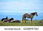 Wild Horses Napping In The...
