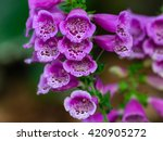 Close View Of Digitalis...