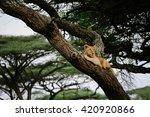 climbing lion | Shutterstock . vector #420920866