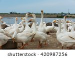 geese at a farm | Shutterstock . vector #420987256