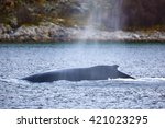 Large Humpback Whale In The...