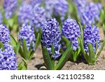 Field Full With Blue Hyacinths...