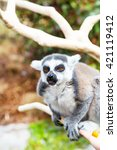 Small photo of Cute cunning Ring-tailed lemur aka Lemur catta on the branch showing tongue and smiling, close up portrait with copy space