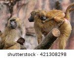Guinea Baboons  Papio Papio
