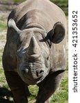 Black Rhinoceros  Diceros...