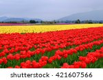 Red And Yellow Tulips Fields. ...