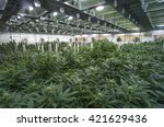 Large Marijuana Grow Operation...