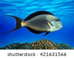 Small photo of Sohal surgeonfish - detail - close up (Acanthurus sohal) with coral reef