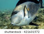 Small photo of Sohal surgeonfish (Acanthurus sohal) with coral reef detail