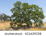Strong Green Oak Tree In The...