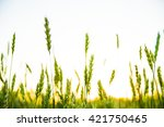 green and yellow wheat field... | Shutterstock . vector #421750465