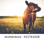 Happy single cow on a meadow...