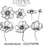 Stock vector cosmos flowers drawings vector 421970998
