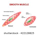 smooth muscle tissue. anatomy... | Shutterstock .eps vector #422128825