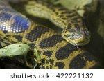A Yellow Anaconda Or Paraguayan ...