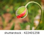 Spring Poppy Flower Bud .