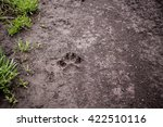 Wolf Tracks In Wet Dirt After...