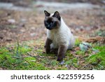 Siamese Cat Walking In The...