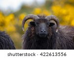 Hebridean Sheep Close Up Of Th...