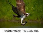 Osprey Catching Fish. Flying...