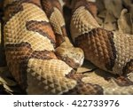 Small photo of Copper Head poisonous snake, Agkistrodon contortrix phaeogaster