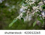 flowering bird cherry | Shutterstock . vector #423012265